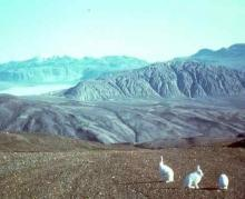 White hares on Eastern Axel Heiberg Island, NE Canada.